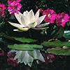 White water lily with Petunias