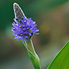 Pickerel weed Pontederia corda