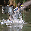 African Yellowbill splashing