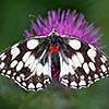 Marbled White with mites