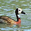 White-fronted whistling duck